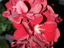 Пеларгонии(герани) растения
