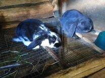 Кролики французский баран